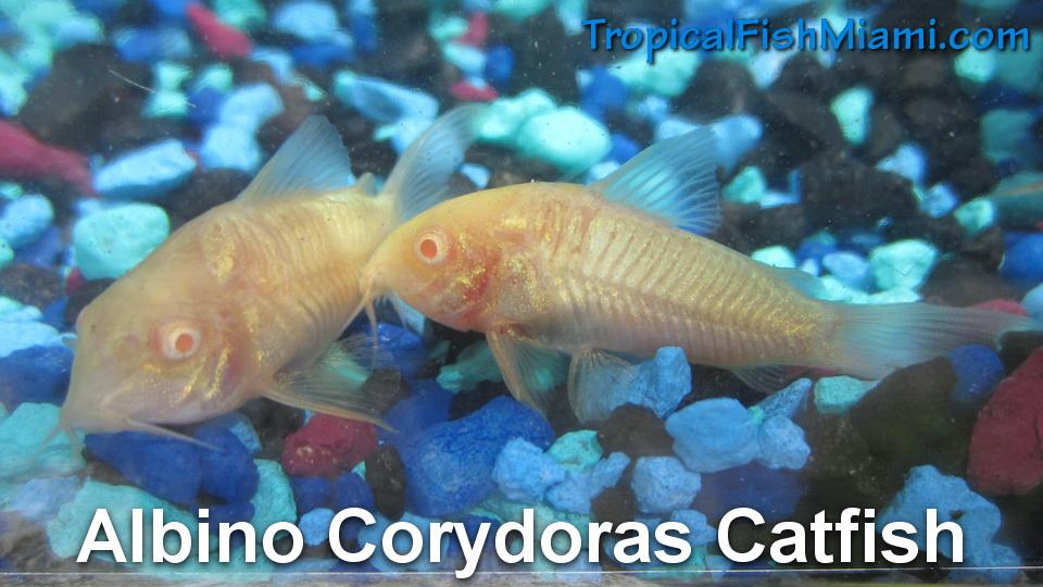 Corydoras catfish neighborhood fish farm for Cory cat fish