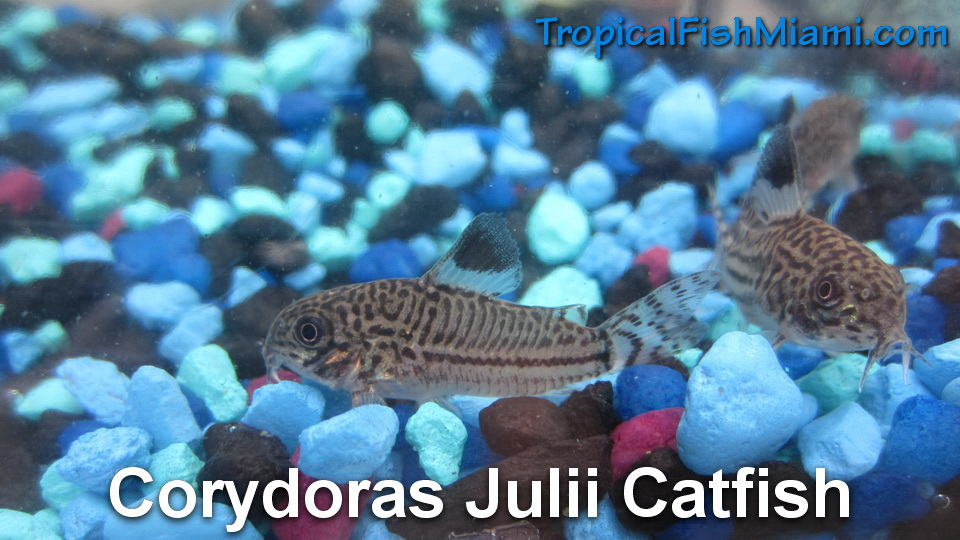 Corydoras catfish neighborhood fish farm for Neighborhood fish farm