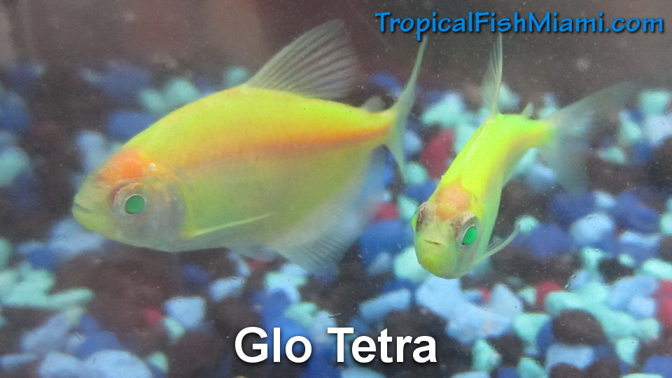 Tetras neighborhood fish farm for Glo tetra fish