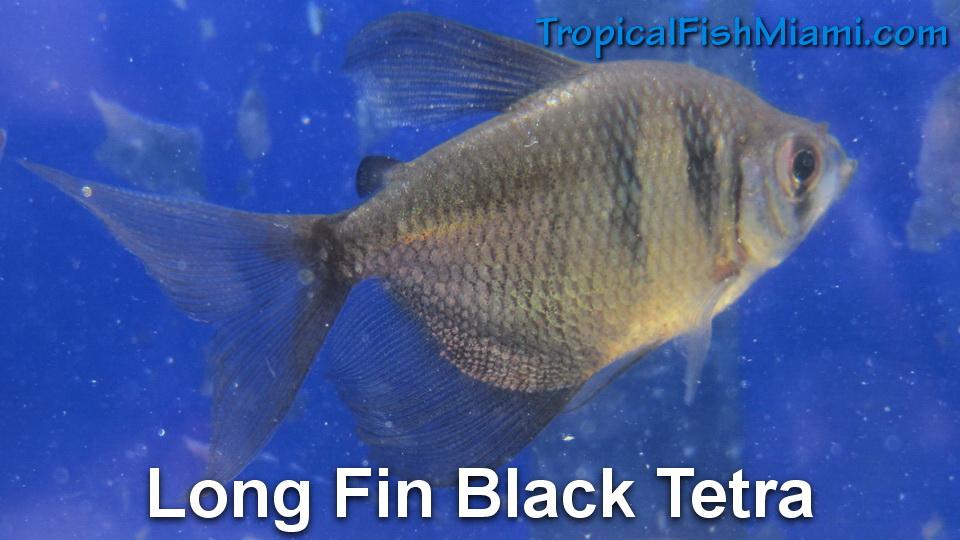 tetra-long-fin-black
