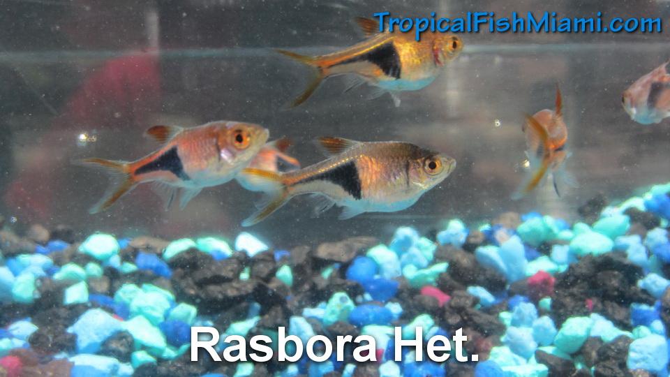 Tetras neighborhood fish farm for Neighborhood fish farm